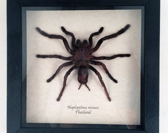 Real spider framed - Haplopelma minax