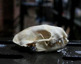 Real Striped Skunk Skull
