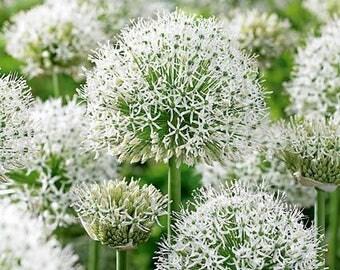Allium stipitatum Mount Everest - Pack of THREE Plants