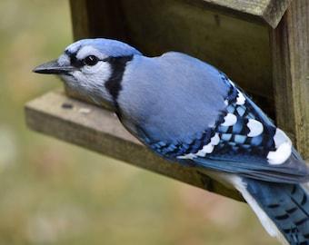 Blue Jay Photo #3
