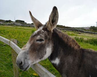 Donkey, Ireland, Photo, Wall Art