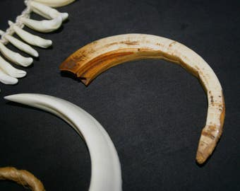 Gorgeous Boar Tusk ~ Ancient Ways