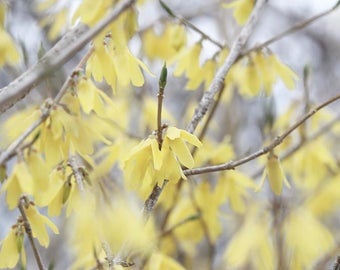 Instant Digital Photography Download for Printing Projects Framing and Gifts - Forsythia - 4x6 5x7 8x10 11x14 16x20 Enlargements