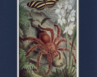 Natural History 1911 Antique Print of Crab Spider Insect