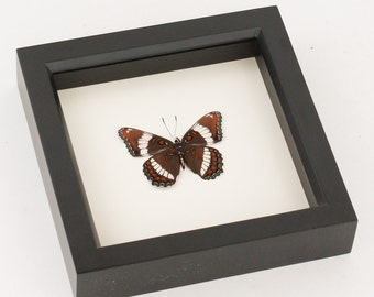 Real Framed Butterfly Display White Admiral