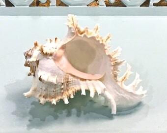 """Seashell Decor - Large Murex Shell - Choose 5""""-6"""" or 7""""-8""""  - beach coastal sea shells  seashells"""