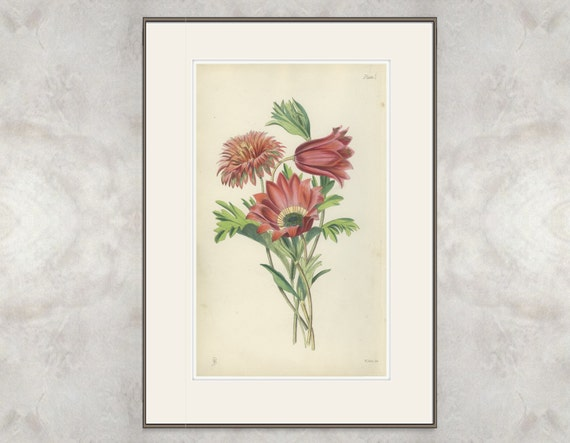 Rare Antique Print, Peacock Windflower, Broad-leaved Anemone, 1871/1
