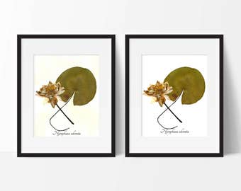 Water Lily Botanical Print - Reproduction Herbarium Art - Botanical Art Print - Pressed Flower Home Decor