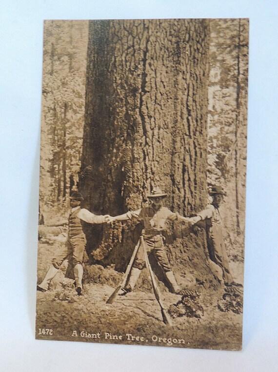 Rare Vintage RPPC Sepia Postcard.. #1472 A Giant Pine Tree, Oregon..  Unposted.. Mitchell
