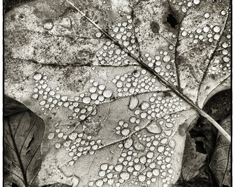 November leaf, 8x10 black & white fine art photograph, nature