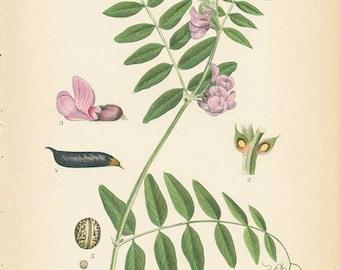 BUSH VETCH - 1905 Botanical Book Plate 319 Bilder ur Nordens Flora