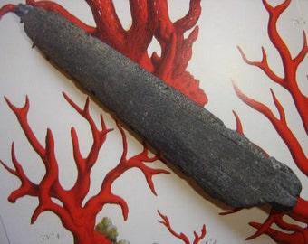 Rare Real Fossilized Billfish Rostrum- Sailfish Marlin Bill Fossil Georgia