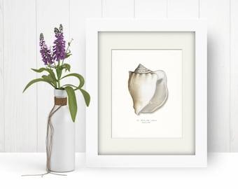 Coastal Decor Sea Shell - Atlantic Whelk No. 2 Giclee Art Print