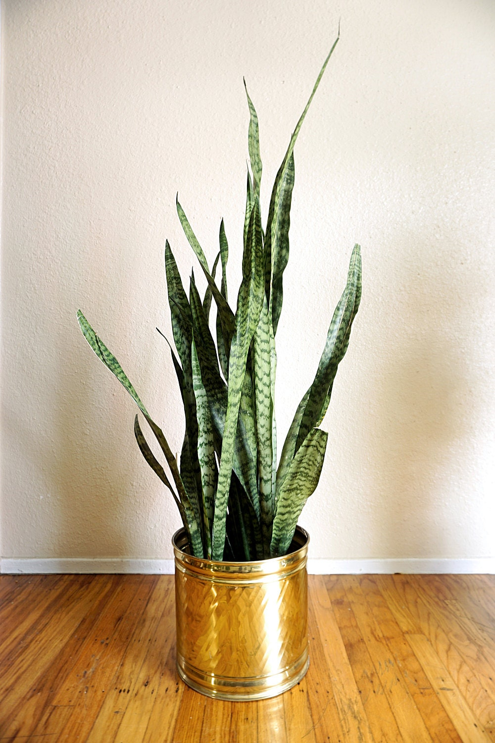 The Snake Plant