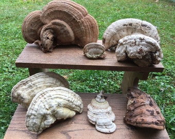 Collection of  (8) all natural shelf mushrooms from clean NH woods organic nature display woodland accent