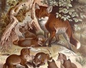 RESERVED. 1890 Antique print of a FOX with cubs. Foxes. Forest Animals. Zoology. Natural History. 127 years old lithograph