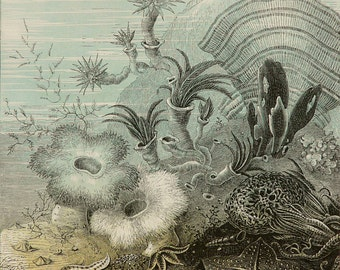 1860 Antique print of SEA LIFE. Sea Anemones. Seaweed. Algae. Starfishes. Sea Stars. Natural History. 157 years old gorgeous lithograph.