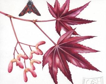 "Watercolour Maple | Original botanical painting | 8"" x 11"" | Japanese Maple leaves | Burnet Moth | Watercolor by Helen Lush"