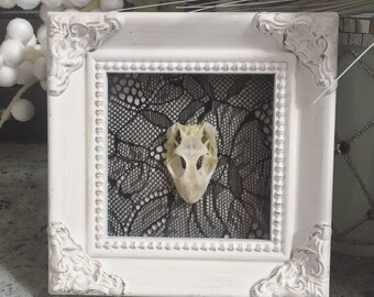 Framed Real Gecko Skull Taxidermy