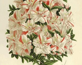 Azalea antique prints Botanical Art Prints white flower art print Home Decor Wall Art Victorian art Garden Wall Art flowers Vintage prints