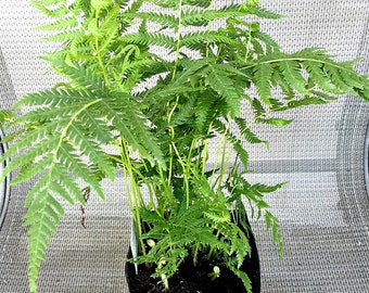 "Live Fern Plant, Ostrich Fern 6"" Potted Plant Fern, A Perfect Indoor House Plant Or A Perfect Housewarming Gift"