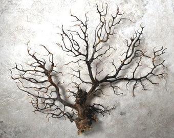 "Black Sea Fan (5-7"") - Gorgonia Ventalina"