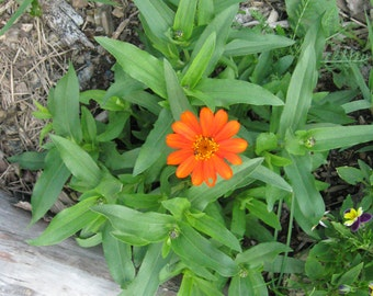 Original Framed Photograph of Orange Zinnia on the Farm...Wood Frame...unique and beautiful gift!