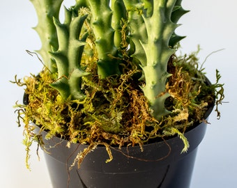 Four Inch Stapella Succulent Plant