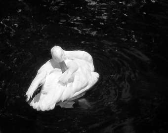 Preening Swan Photo Print
