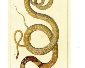 "50% Off Estate Sale Antique Nature Art, Vintage Re print Albertus Seba 18th Century, Cobra, Zoology, Botany Illustration, 13.25"" x 9.5"""