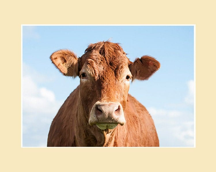 Cow Wall Art limousin cow photographic print mounted or framed - cow wall art