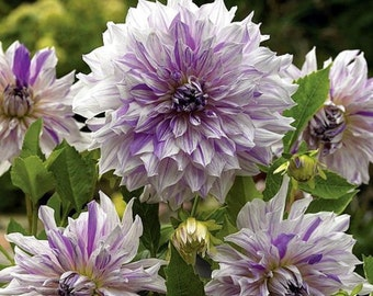 Mom's Special Dinnerplate Dahlia - 2 Bulb Clumps - Lavender! - #1 Size