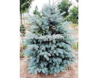 Blue Spruce Seedlings 100 pack