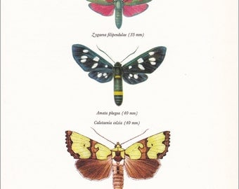 vintage moth insect art print Burnet moth amata phegea home decor wall art gallery 8x10 inches