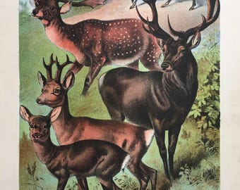 Vintage chromolithograph from Johnsons Book of Nature, 1880, plate XLII Ungulata, deer and stag