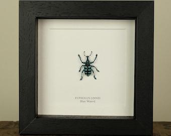 Blue Weevil in Box Frame (Eupholus Linnei)