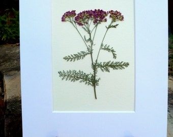 Real Pressed Flower Botanical Art Herbarium Specimen of Pink Yarrow 8x10 OR 11x14