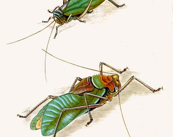 An Epitome of the Natural History of the Insects of India c1800.  plate 12