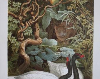 old print litho swan 1895