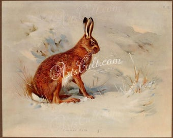 mammals-05627 - Common Hare Rabbit on snow by Archibald Thorburn vintage digital printable illustration book page plate downloadable image