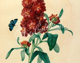 flowers-32438 - Wallflower, Erysimum cheiri, Cheiranthus vintage red flower vintage illustration digital download floral botanical book page