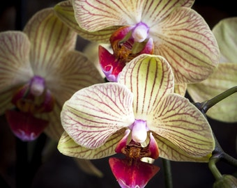 Limited edition Yellow and Pink Orchid photograph