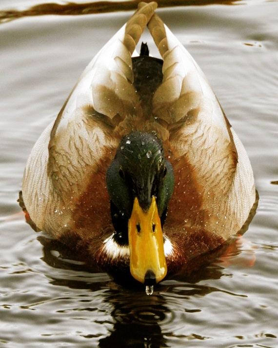 Mallard duck with water dripping from his beak