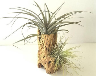 Air Plants Mounted on Cholla Cactus, 2 Air Plants on Cholla Wood