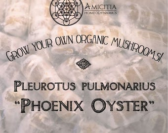 Phoenix Oyster Plug Spawn 25ct (Pleurotus pulmonarius) LIVE Mycelium *Free PDF book included