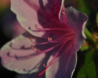 Azalea Close Up // Photography // Flowers // Instant Download