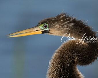 Florida Bird Wildlife, Photo, Anhinga Picture, Brown Blue Artwork, Wall Art, Diving Bird