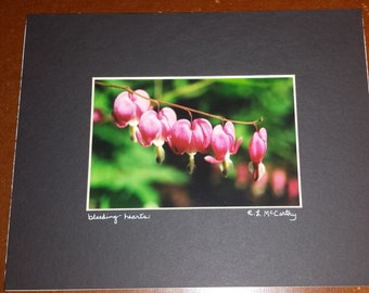 305 8x10 Matted Bleeding Hearts Signed Photography Photograph Print