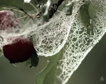 """Nature Photography, Wilderness, Spiderweb, Apple, Orchard, Rustic, Woodland, Dew, Green, Burgundy, 6x9 or 8x12. """"Bewebbed, Crab Apple."""""""