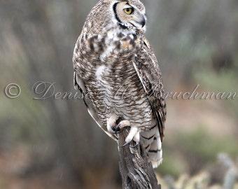 Wild Raptor Photos - Great Horned Owl Photo - Owl Photos - Photos of Owls - Desert Wildlife Photography - Desert Great Horned Owl